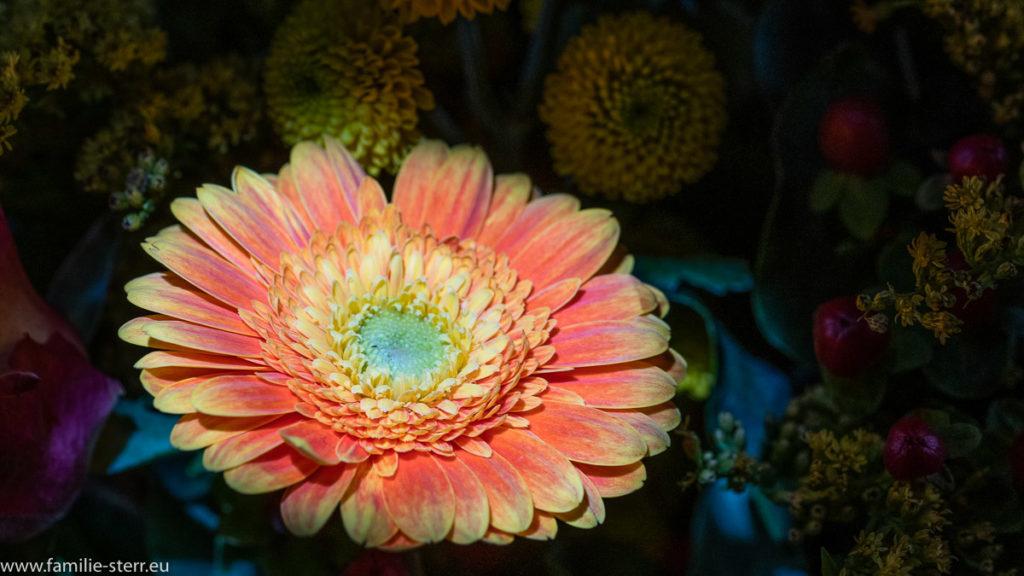 eine Gerbera aus einem Blumenstrauss