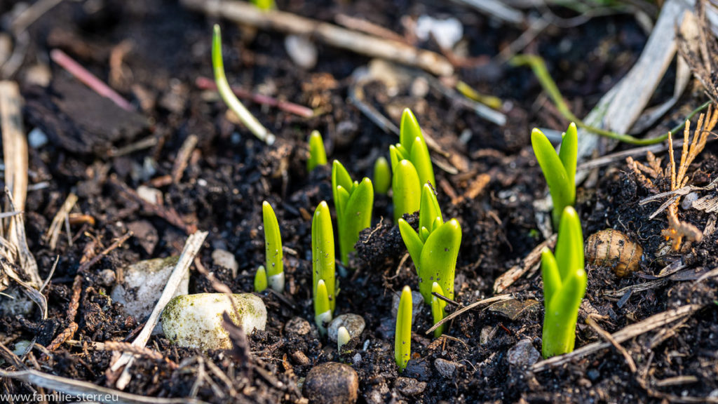 erste grüne Triebe im Garten in Hallbergmoos