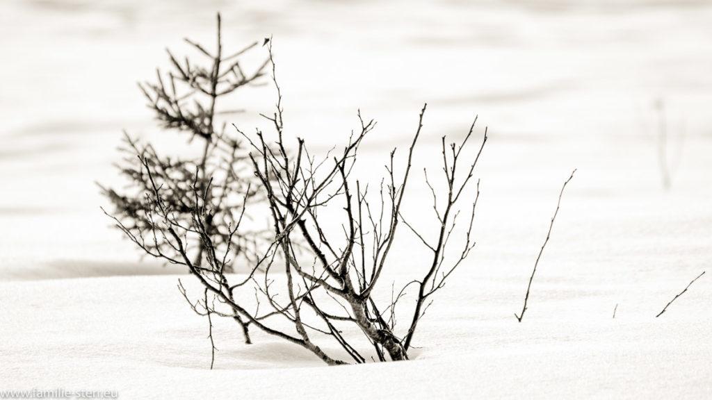 trockene Pflanzen im Schnee