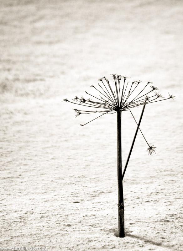 trockener Pflanzenstängel im tiefen Schnee