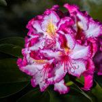 Blüte einer Happydendron bei uns im Garten