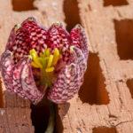 abgefallene Blüte einer violett-weißen Schachblume mit gelbem Blütenstempel auf einem Ziegelstein