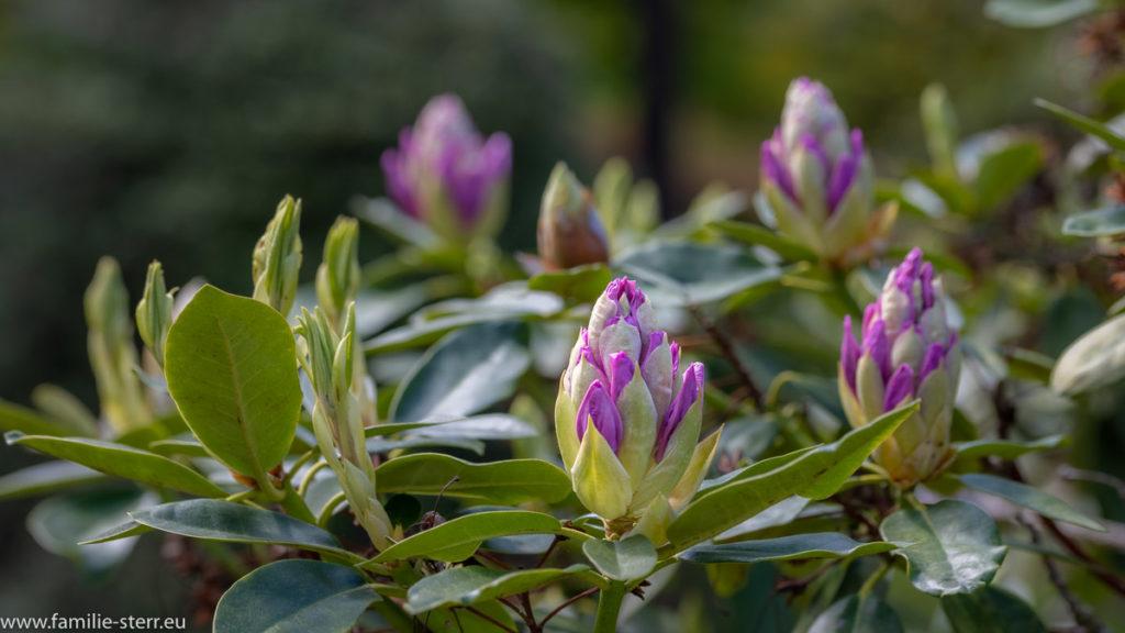 Rhododendron - Knospen im Rhododendronpark in Kromlau