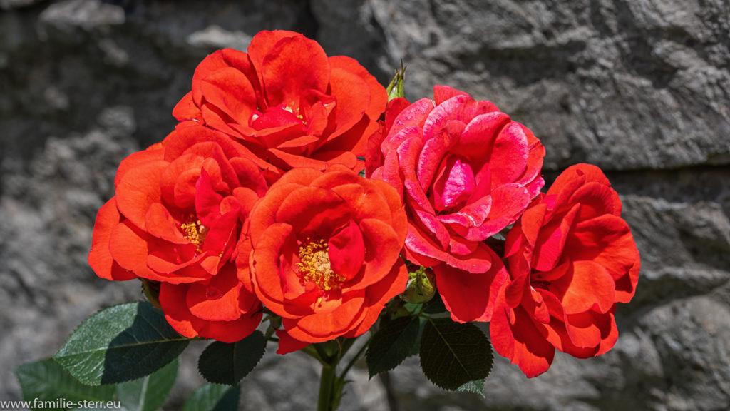 5 rote Rosen vor einer Gartenmauer